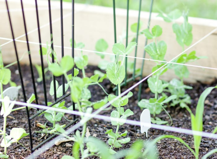 Peas in the Square Foot Garden