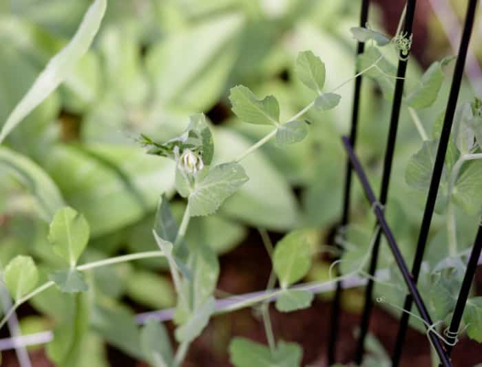 Pea plants in the square foot garden